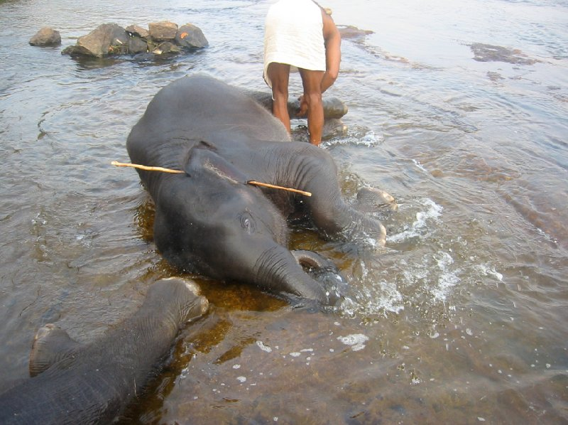 Photo of elephant in the river, Kerala., India