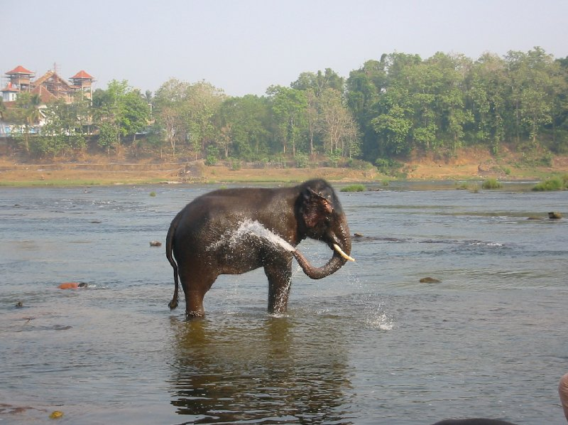 Elehpant in the Kerala river spraying water., India