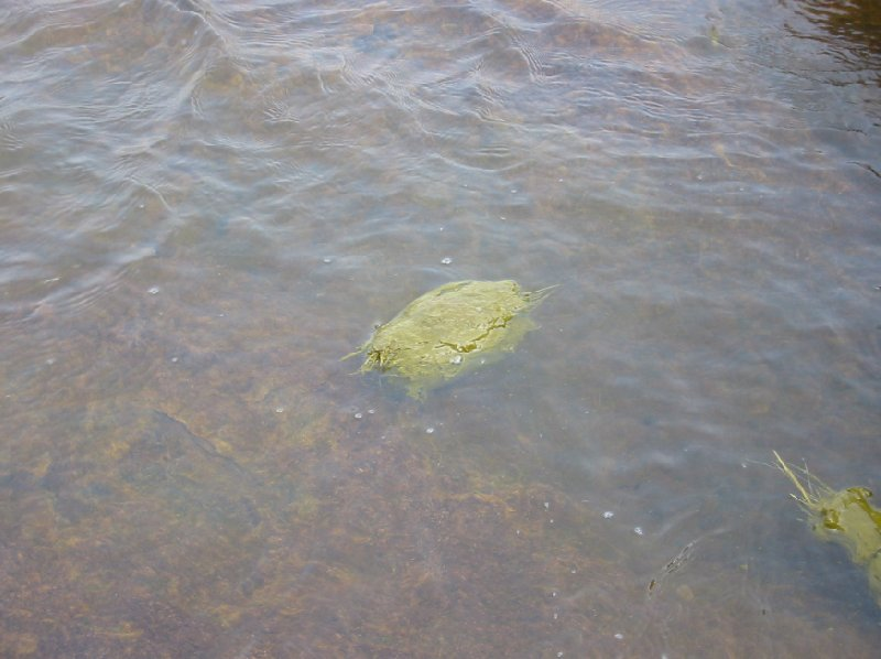Elephant poo in the river, India., India