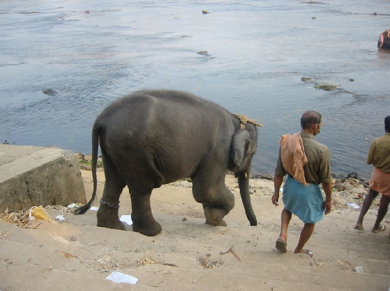Kochi India Elephant walking to the water for its bath.