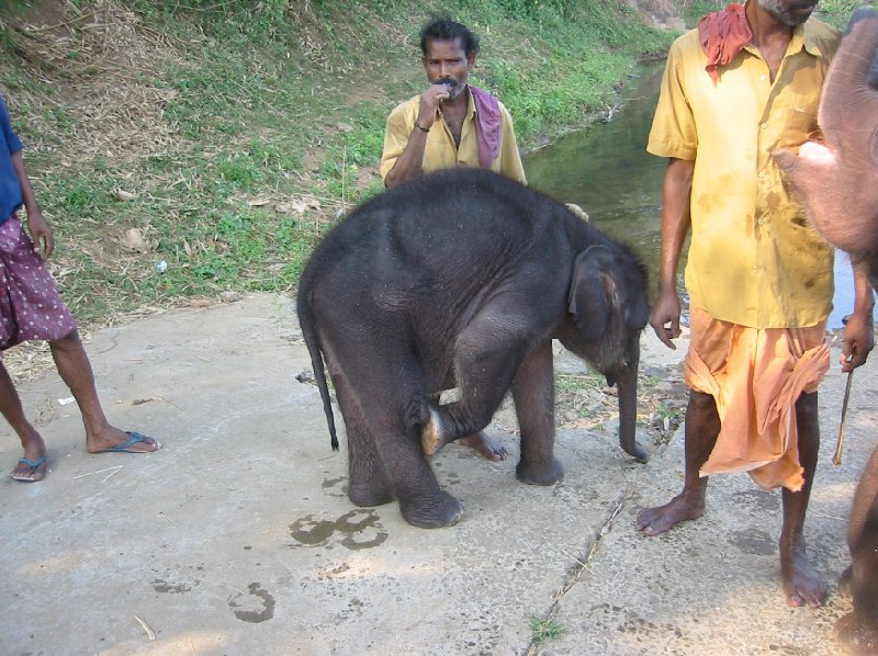 Pictures of a baby elephant getting a bath in India., Kochi India
