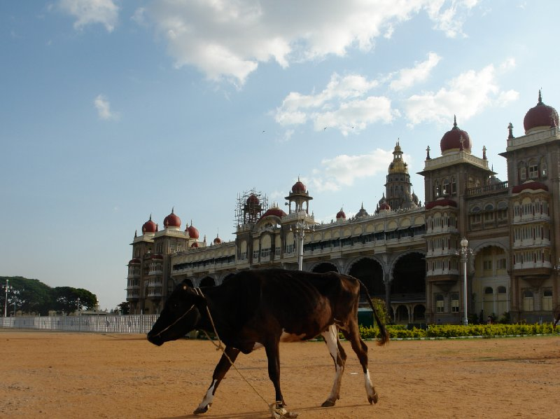 Indian cow posing in front of the Mysore Palace., India