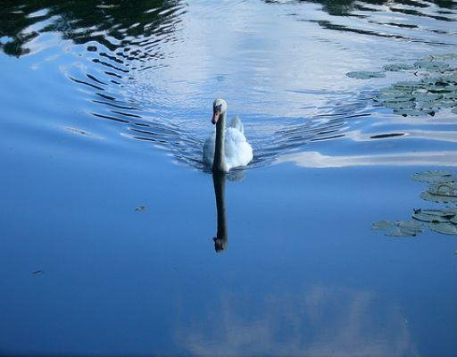 Beautiful swan in Nottingham, United Kingdom., United Kingdom