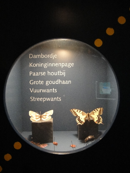 Typical Dutch butterflies at the  Natuurhistorisch Museum in Maastricht, Netherlands