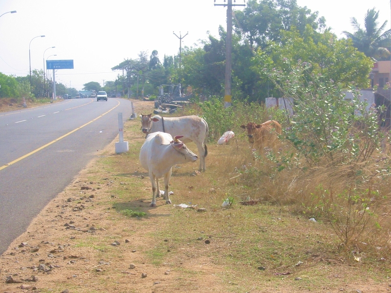 Cows on the side of the road in Mahabalipuram, Tamil Nadu, India