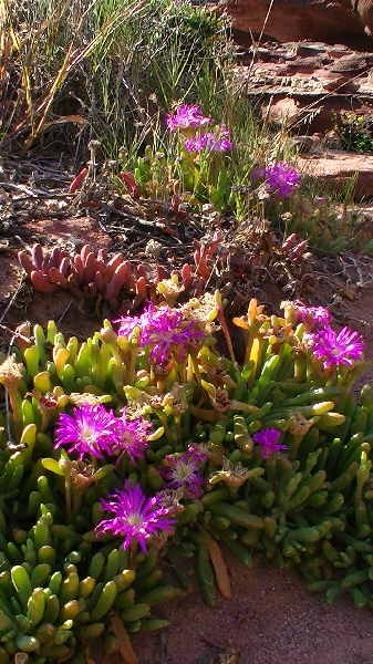 Purple wildflowers in Kalbarri at Mushroom Rock, Australia, Australia