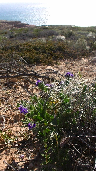 Purple wildflowers in Rainbow Valley, Kalbarri, Australia
