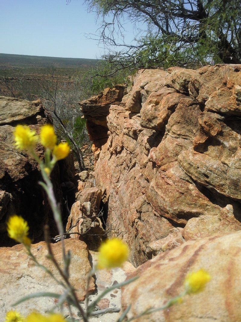 Yellow wildflowers in Kalbarri National Park, Kalbarri Australia