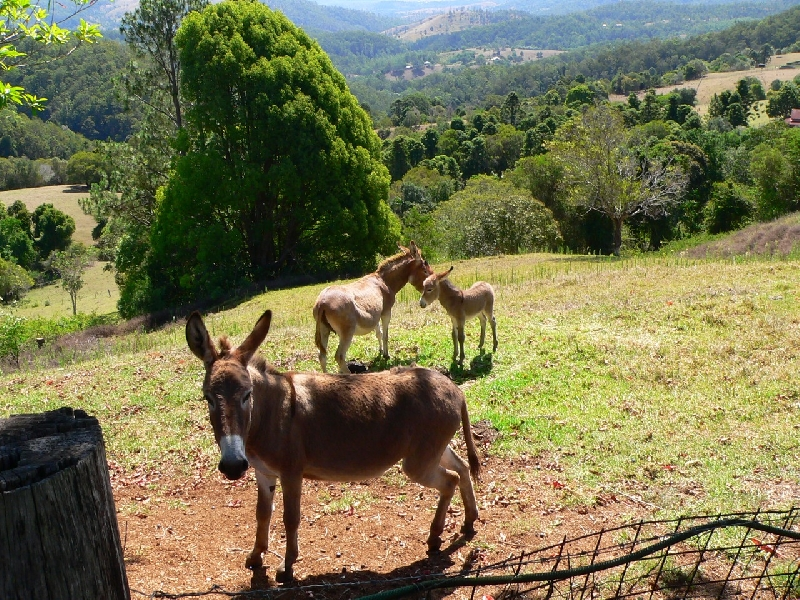 Spa Views Donkeys, Sassy, Tassy and Uri over looking the valley below, Maleny Australia