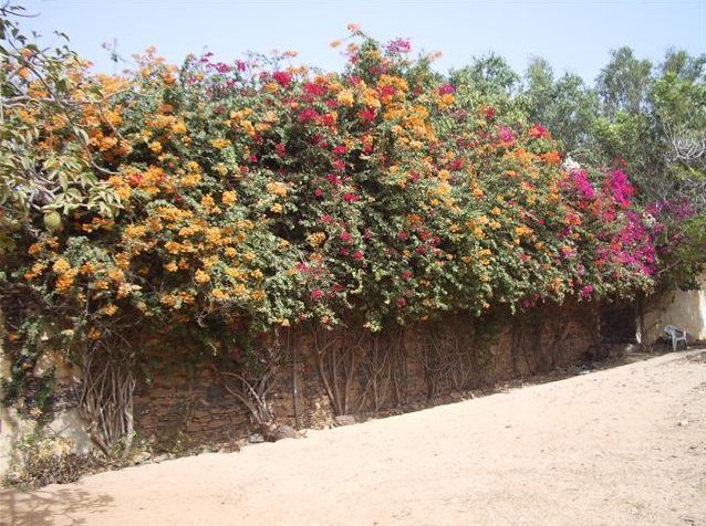 Flowering bougainvillea at Ile de Goree, Senegal, Ile de Goree Senegal