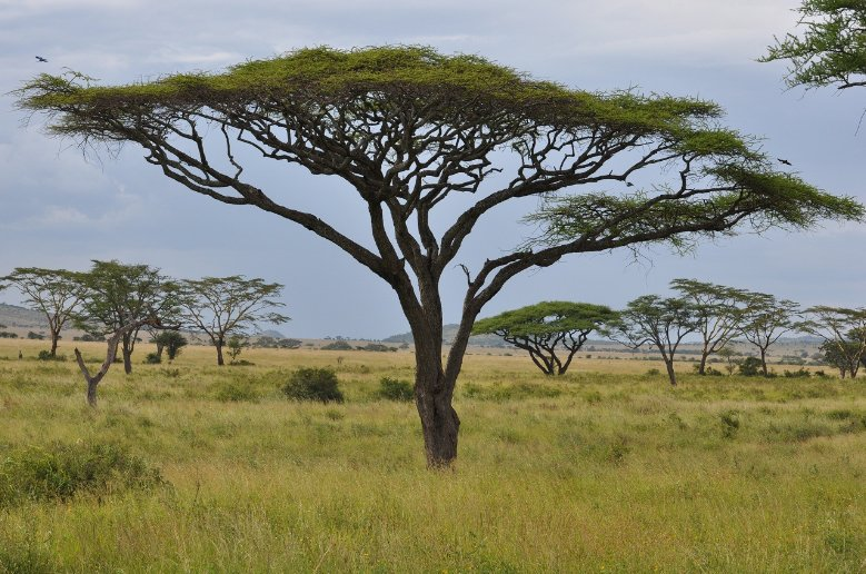 Beautiful trees in Serengeti National Park in Tanzania, Mara Tanzania