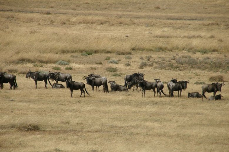 Hurdle of wildebeests in Tanzania, Tanzania
