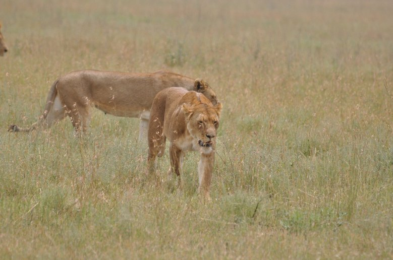 Tigers in Serengeti National Park in Tanzania, Mara Tanzania