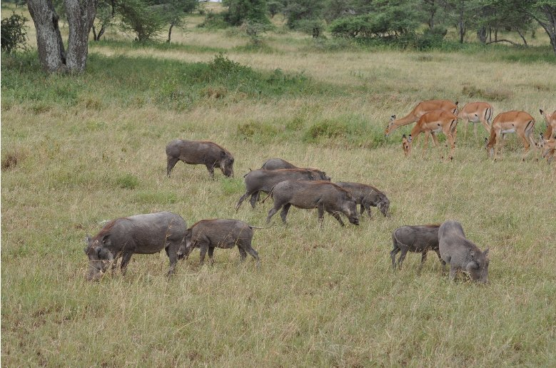Photos of warthogs and antilopes in Serengeti National Park in Tanzania , Tanzania