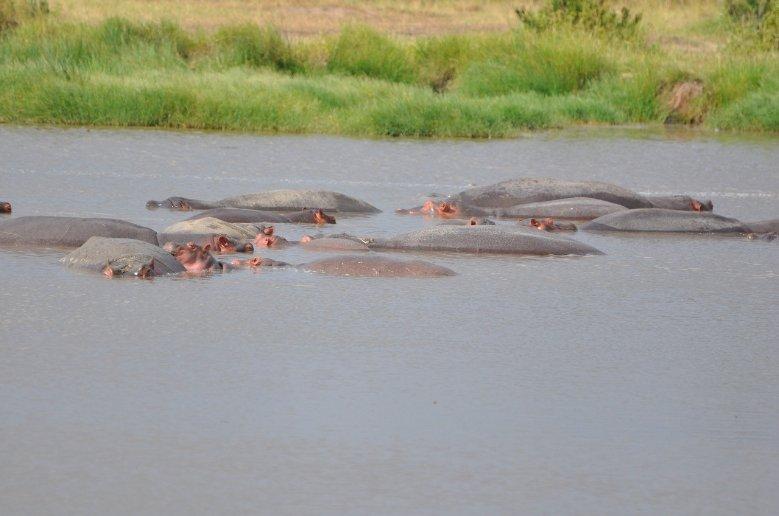 Mara Tanzania Photos of a group hippo's in Serengeti National Park in Tanzania