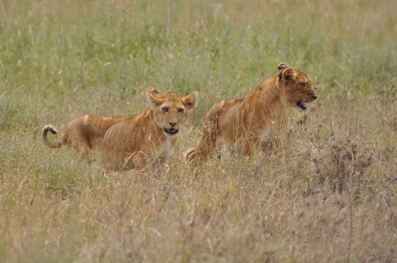 Photos of lion cubs in Serengeti National Park in Tanzania, Tanzania