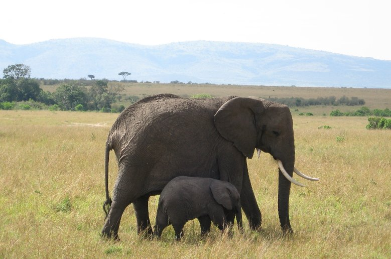 Baby elephant in Serengeti National Park in Tanzania, Tanzania
