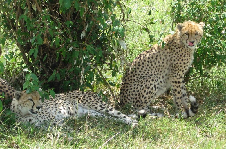 Leopards spotted on a game drive in Serengeti National Park in Tanzania, Tanzania