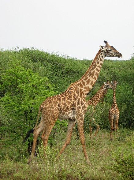 Giraffe's in Serengeti National Park in Tanzania, Tanzania