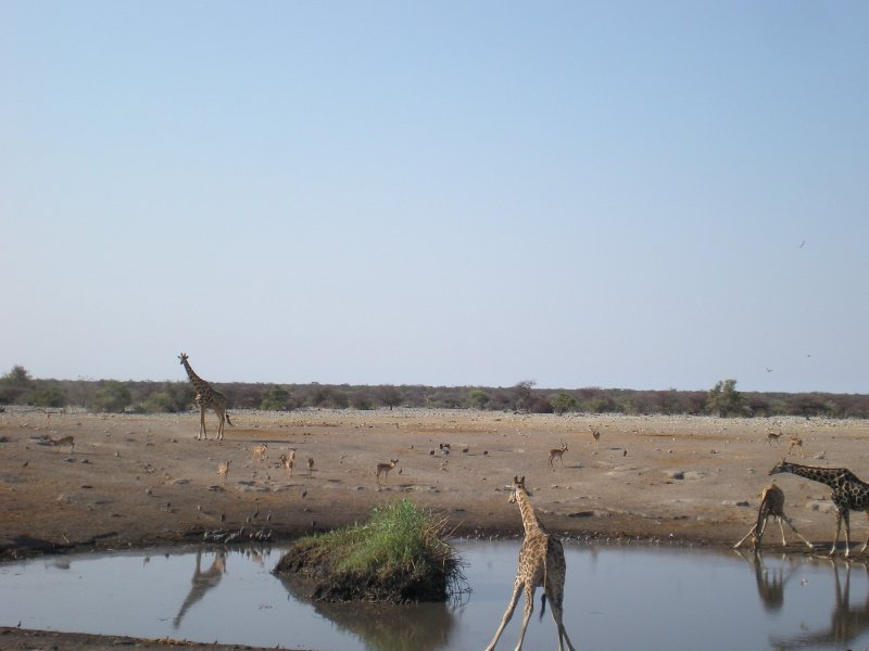 Photos of drinking giraffes in Etosha National Park, Namibia, Namibia