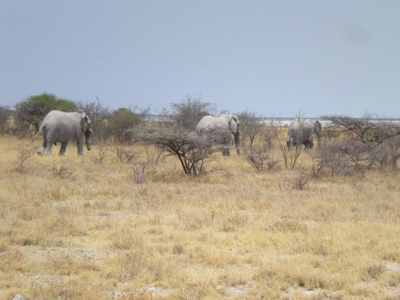 Hurdle of elephants in Etosha National Park, Namibia, Namibia