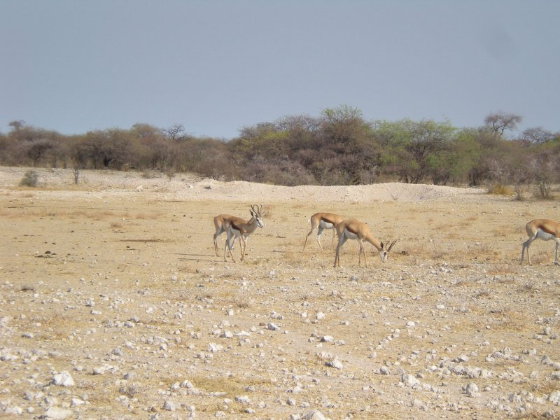 Grazing antilopes during a game-drive in Namibia, Namibia