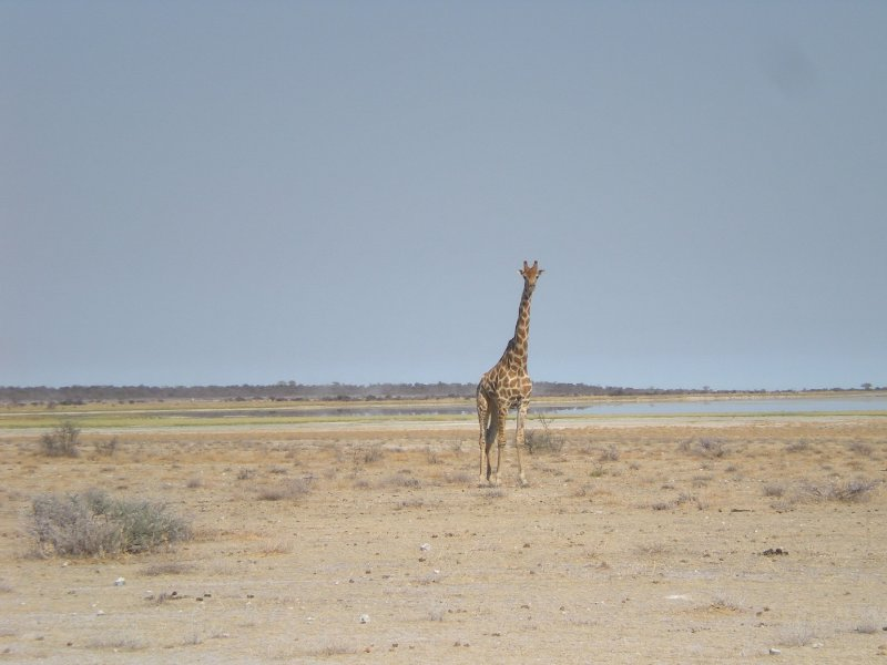 Lonely Giraffe in Etosha National Park, Namibia, Namibia
