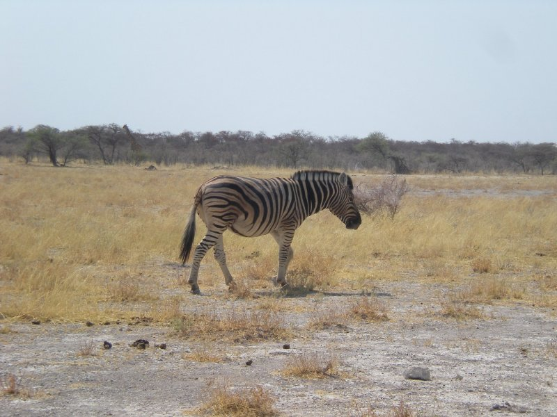 Picture of a zebra in Etosha National Park, Namibia, Namibia