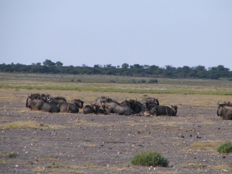 Group of resting wildebeests in Etosha National Park, Namibia, Namibia