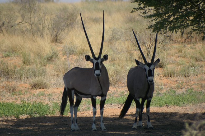 Photo of two gemboks in Etosha National Park, Namibia, Namibia