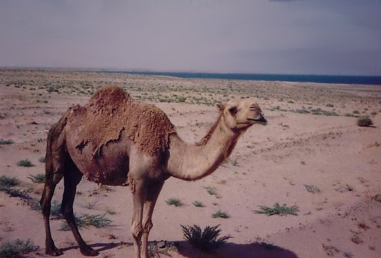 Camel in the desert of Iraq, Baghdad Iraq