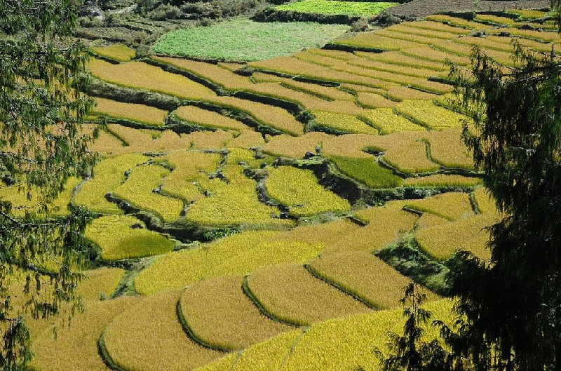 Ricefields in Bhutan, Bhutan