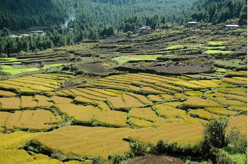 Photos of the rice fields in the Paro Region, Bhutan, Bhutan