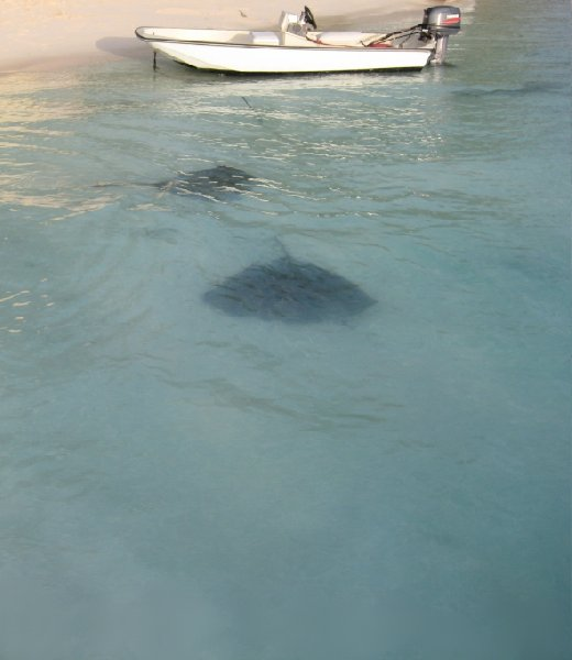 Stingrays on the beach, Bahama's, Bahamas