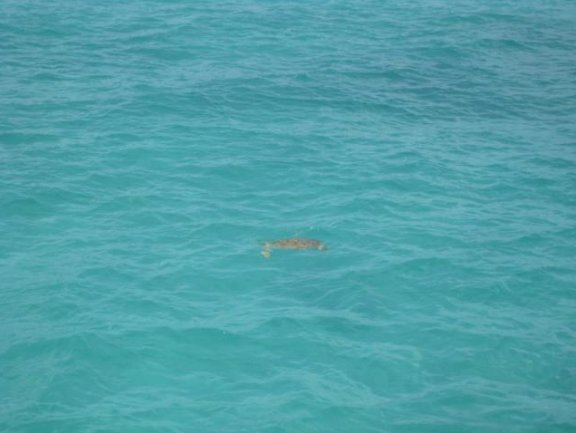 Hamilton Bermuda Photo of a turtle in Bermuda