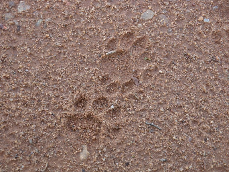 Lion footprints at Kafue National Park Wildlife Pictures, Zambia Kafue
