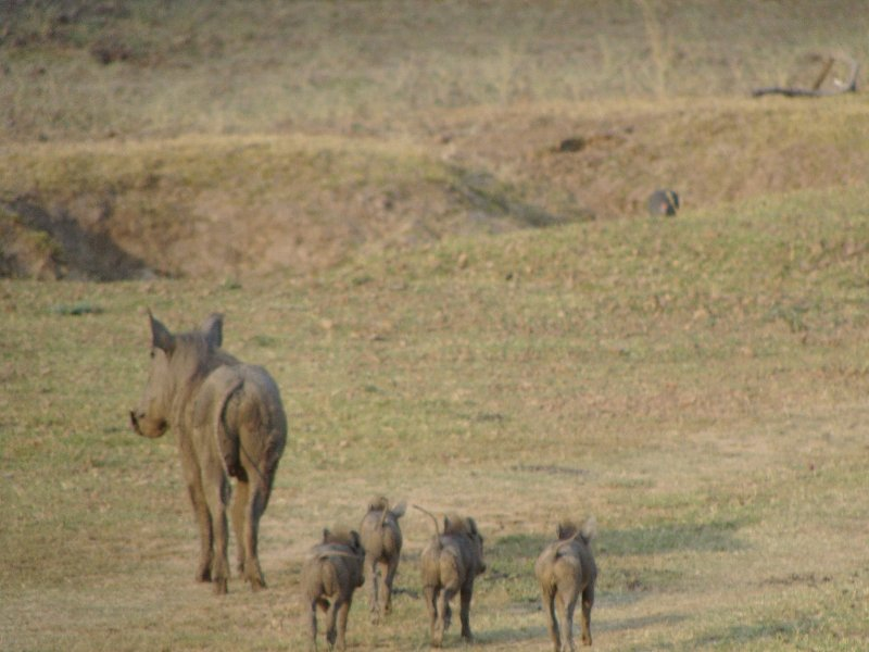 Warthog with youngs at Kafue National Park Wildlife Pictures, Zambia, Kafue Zambia