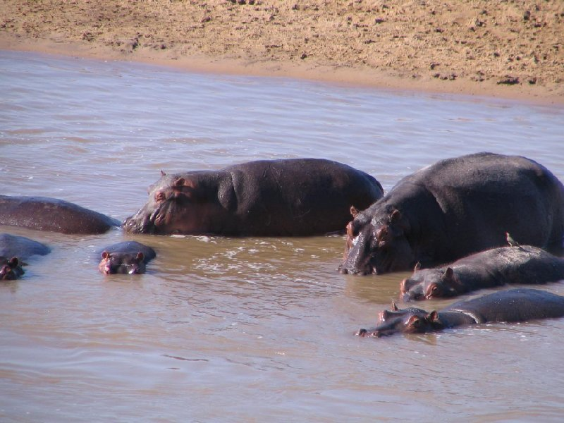 Hippo's bathing at Kafue National Park Wildlife Pictures, Zambia, Kafue Zambia