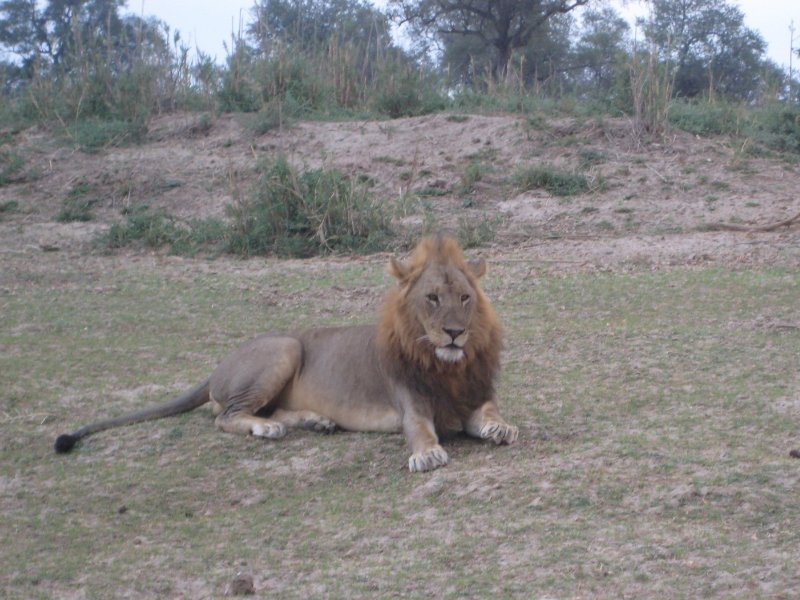 Picture of a Lion at Kafue National Park Wildlife Pictures, Zambia, Zambia