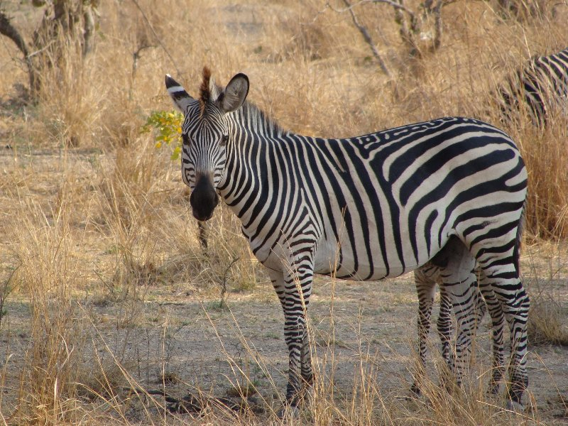 Kafue Zambia Picture of a zebra in Kafue National Park Wildlife Pictures, Zambia