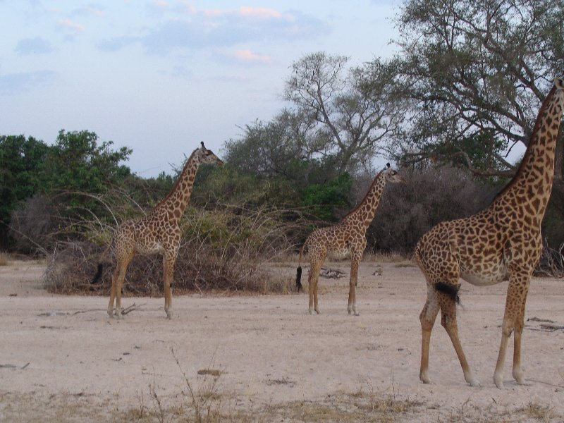 Group of giraffes in Kafue National Park Wildlife Pictures, Zambia, Kafue Zambia