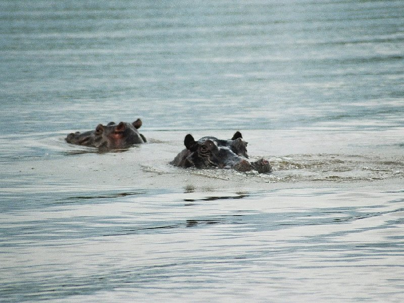 Swimming hippo's in Botswana, Botswana