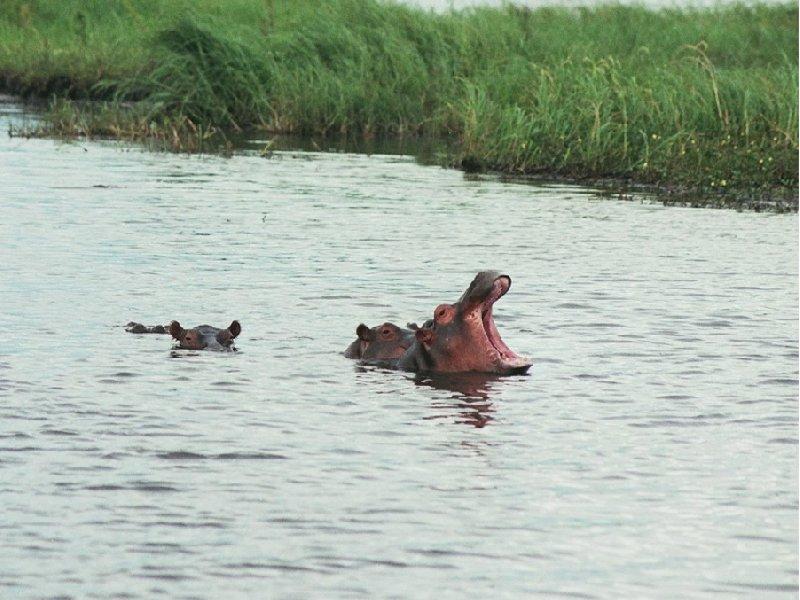 Kasane Botswana Hippo's in the Moremi Wildife Reserve, Botswana