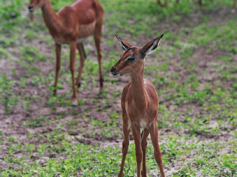 Antilopes in Botswana, Kasane Botswana