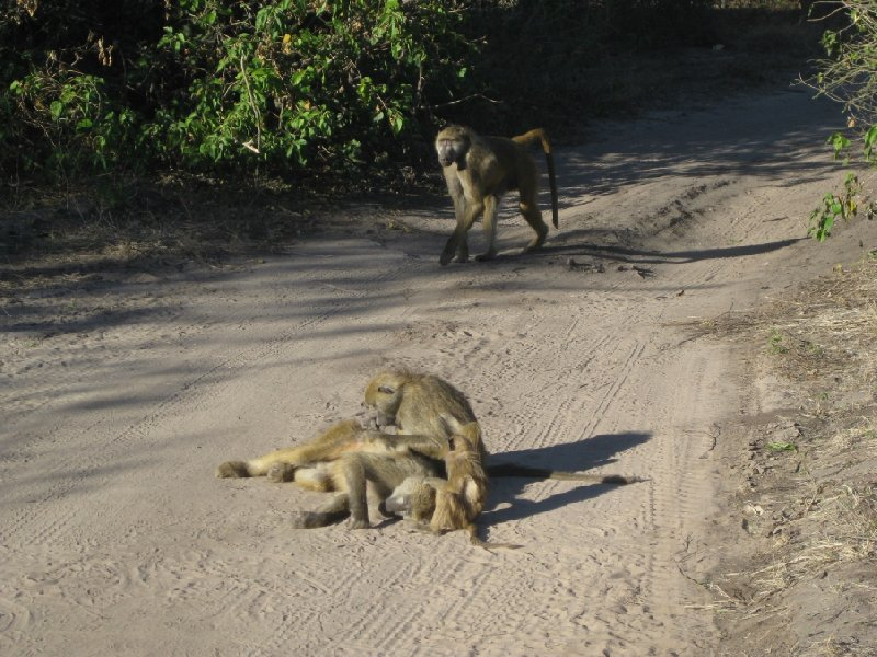 Photos of baboons playing around, Botswana
