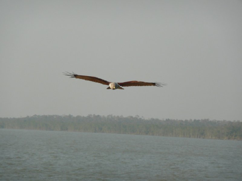 Flying eagles in the Sundarbans National Park, Bangladesh Sundarbans