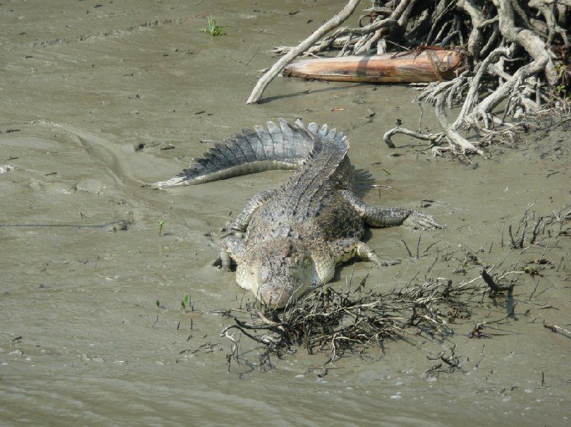 Crocodile in the Sundarbans National Park, Sundarbans Bangladesh