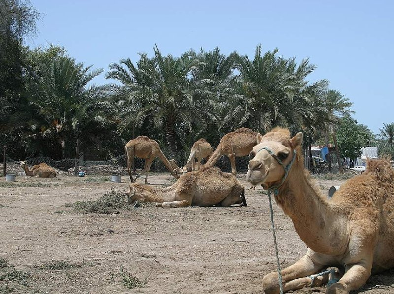 Photos of the Camel Farm near Manama , Bahrain