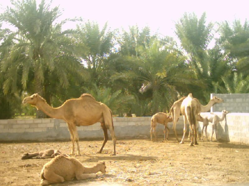 Pictures of the Bahrein Camel Farm, Bahrain