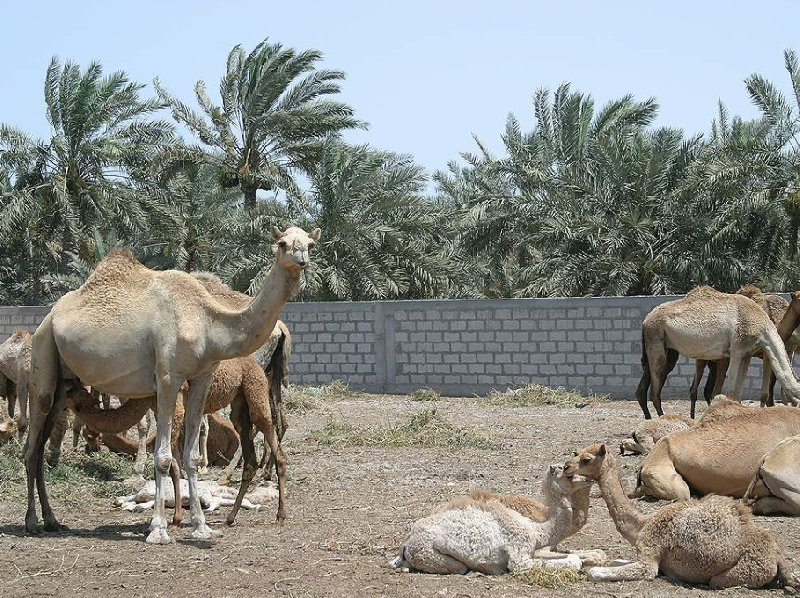 Photos of the Bahrein Camel Farm, Bahrain